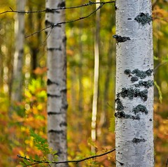 Autumn birches (Stefano Rugolo) Tags: stefanorugolo pentax pentaxk5 k5 kmount smcpentaxm100mmf28 forest autumn tree birches