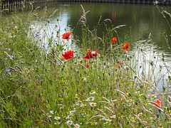 P1000631 (Ravenshaw) Tags: poppies wildflowers summer towpath thames oxford