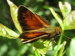 Poanes hobomok (Hobomok skipper), male (tigerbeatlefreak) Tags: poanes hobomok skipper insect butterfly lepidoptera hesperiidae nebraska