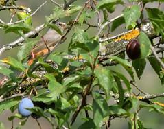 Common Redstart, Phoenicurus phoenicurus (asterisktom) Tags: trip2019westasia 2019 armenia september dilijan commonredstart phoenicurusphoenicurus redstart flycatcher