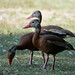 whistling duck 4