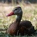 whistling duck 7