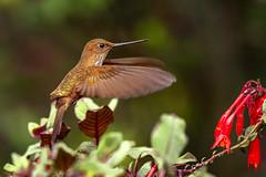 Bronzy Inca hummingbird approaching Fuchsia magellanica (PriscillaBurcher) Tags: trochilidae colibríesdecolombia hummingbirdsfromcolombia coeligenacoeligena bronzyinca colibríincabronceado picaflor chupaflor laceja colombia priscillaburcher dsc2271