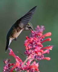 Hummingbird at hummingbird mint (Jen St. Louis) Tags: birds bird hummingbird hummingbirds rubythroatedhummingbird backyardbirding flowers inflight nikond750 nikon200500mm jenstlouisphotography wwwjenstlouisphotographycom