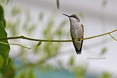 RUBTHRHUM F 1121 (Bryan J. Smith) Tags: rubythroatedhummingbird archilochuscolubris hummingbirds trochilidae birdsofmaine ©bryanjsmith