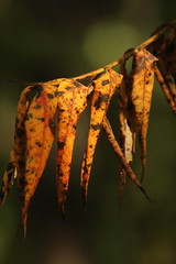 Leaves (historygradguy (jobhunting)) Tags: easton ny newyork upstate washingtoncounty leaf leaves fall autumn