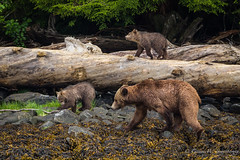 Grizzly Bear Family (Turk Images) Tags: britishcolumbia glendalecove grizzlybear telegraphcove tideripgrizzlytours ursusarctoshorribilis vancouverisland mammals ursidae spring