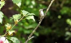 A Parting Glance (ChicaD58) Tags: dscf9127c hummingbird female rubythroatedhummingbird roseofsharontree backyard summer apartingglance