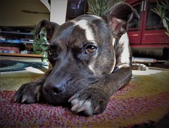 Chip. (ManOfYorkshire) Tags: dog rescue chip sunlight resting paw friend loyalty