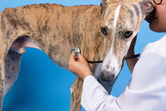 Veterinarian examining spanish greyhound dog (wuestenigel) Tags: veterinary treatment sick clinic doctor young vet diagnosis healthy animal assistant pet job breed dog health clinical medicine medical patient greyhound nature natur hund noperson keineperson one ein tier love liebe portrait porträt funny lustig man mann mammal säugetier loyalty loyalität cute süs jung outdoors drausen two zwei eye auge people menschen friendship freundschaft woman frau canine eckzahn 2019 2020 2021 2022 2023 2024 2025 2026 2027