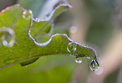 Morning Drizzle (macromerriment) Tags: morningdrizzle kale water waterdrops drip drop mist drizzle nature flora garden outdoors outside colour color light green richmond bc britishcolumbia canada terranovapark communitygardens
