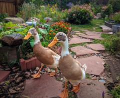 Garden Runners (kdandilion) Tags: indianrunnerducks drakes ducks