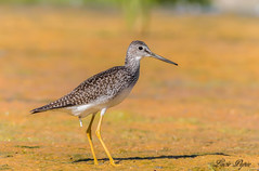 Grand chevalier - Greater Yellowlegs (Lucie.Pepin1) Tags: oiseaux birds eau water limicoles nature wildlife faune fauna luciepepin canon7dmarkii canon300mml