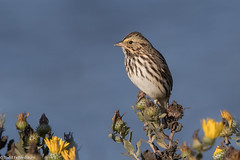 CA3I9976-Savannah Sparrow (tfells) Tags: savannahsparrow songbird passerine mosslanding california passerculussandwichensis nature wildlife bird usa
