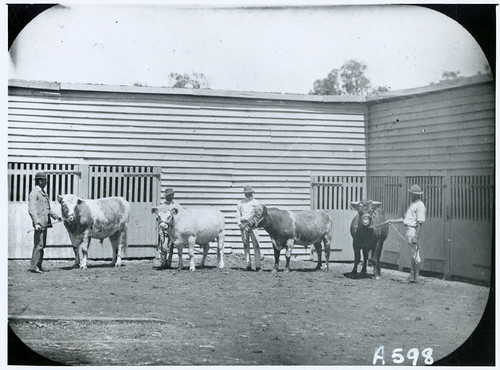 IID 435753 Historical-Places IM0133 Glengallan Thoroughbred Bulls Dept No.A598