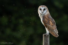 Young Pretty Male (budgiepaulbird) Tags: owls owlet barnowls perched young canon7dmark2 100400mark2