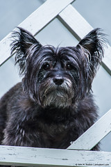 2019.07.22.4608 Brunie (Brunswick Forge) Tags: 2019 virginia dog dogs doggy dogies puppy puppies terrier cairn cairns tinyjawsofdeath cairnterrier cairnterriers terrierists terrierist brunie brunhilde littlebits muzzie missmuzz nikond750 fx nikkor200500mm outdoor outdoors animal animals animalportraits house home grouped favorited commented botetourtcounty summer
