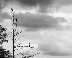 Right-Wing Bias... (Cirrusgazer) Tags: dorset england birds blackandwhite clouds cormorants monochrome moody nature order peckingorder silhouette three tree trees