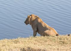 Lion - Panthera leo (Gary Faulkner's wildlife photography) Tags: lion pantheraleo