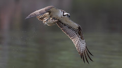 Osprey  0202 (Paul McGoveran) Tags: bif bird birdinflight hendrievalley nature nikon500mmf4 nikond500 nikond850 osprey wings coth5