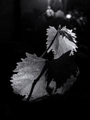 Grape leaves. Light and shadow. Monochrome. (ALEKSANDR RYBAK) Tags: листья монохромный чёрное белое свет тень просвечивание детали жилки макро крупный план виноградные leaves monochrome black white shine shadow transillumination details veins macro closeup grape