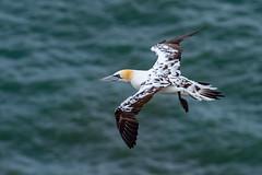 Gannet (likely 3rd year bird) (Artisanart) Tags: gannet bempton bird nature wildlife east coast sea cliffs
