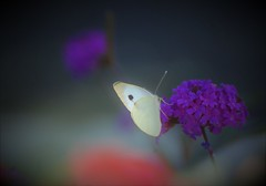 Piéride du navet (danielled61) Tags: piéride du navet pieris napi papillon butterfly jardin garden été septembre verveine mexique fleur flower butiner papilloner