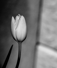 tulip (Christine_S.) Tags: flowerphotography flower bw monochrome hmbt japan stilllife olympusem10markiii omd macro nature flowers 45mmf18