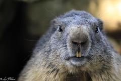 I See You (Luca Bobbiesi) Tags: marmotta marmot nature animal animalportrait portrait eyes trentinoaltoadige vezzena canoneos5dmarkiv canonef100400mmf4556lisusm canonextenderef14xii bokeh roditori