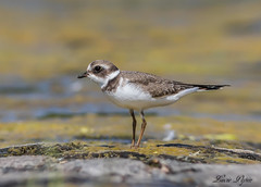 Pluvier semipalmé - Semipalmated Plover (Lucie.Pepin1) Tags: oiseaux birds eau water limicoles nature wildlife faune fauna luciepepin canon7dmarkii canon300mml