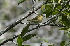 (The Transit Photographer) Tags: rideautrail trailhead marshlandsconservationarea birds fallmigration warblers tennesseewarblers