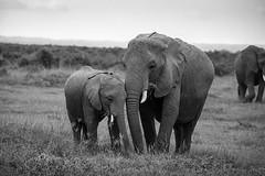 Hanging with mom - EXPLORED (Sept 13, 2019) (JD~PHOTOGRAPHY) Tags: elephant elephants wild wildlife wildanimal animals animalsinthewild africanwildlife africasbigfive africanelephant africa kenya amboseli nature ngc canon canon6d