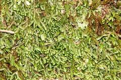 Mostly liverworts. The most abundant here is a Bazzania, probably Bazzania adnexa. (Poytr) Tags: watagansnationalpark rainforest morriset nsw australia dryrainforest boardinghousedam moss liverwort bazzaniaadnexa bazzania arfp nswrfp arfliverwort lepidoziaceae id2bchecked qrfp vrfp trfp