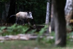Sanglier (Morgane_W) Tags: sanglier sus scrofa wild boar faune sauvage nature canon80d tamron150600