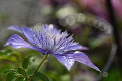 The First Lady / La Première dame (GEMLAFOTO) Tags: clematis clématite fleur flower michelgauthier nikond7100 thefirstlady lapremièredame