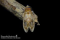 Aphyle abdominalis (Herrich-Schäffer, [1855]) (Marquinhos Aventureiro) Tags: aphyle abdominalis moth mariposa serra canastra wildlife vida selvagem natureza floresta brasil brazil hx400 marquinhos aventureiro marquinhosaventureiro erebidae arctiinae