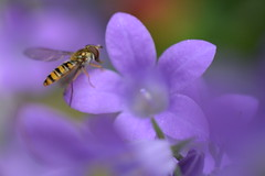 Hoverfly in the Camp! (suekelly52) Tags: campanula flower hoverfly marmaladehoverfly diptera bokeh insect