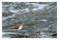 L'Allier sauvage (BerColly) Tags: france auvergne puydedôme oiseaux birds chevalierguignette riviere river eau commonsandpiper bercolly google flickr