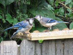 blue jays9 (Patricia Pierce) Tags: bluejay jay alabamawildlife alabamabackyardwildlife audubon alabama semmesalabama mobilealabama nationalwildlifefederation thenatureconservancy backyardwildlife