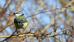 Blue Tit in the February Sun (kirstyhannahfolk) Tags: bluetit bird birdphotography nature wildlife winter lincolnshire