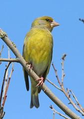 Groenling (diemerparkijburg) Tags: diemerpark chloris verdier deurope european greenfinch