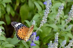 Riding the wind, resting on flowers (Abhay Parvate) Tags: butterfly flowers colors nature macro bokeh