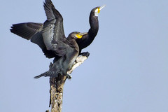 Great Cormorant (Birdwatcher18) Tags: greatcormorant cormorant birds birder birding birdwatching birdwatcher birdonbranch birdontree nature natural forest fauna