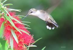 female ruby-throated3 (Patricia Pierce) Tags: femalerubythroatedhummingbird rubythroatedhummingbird hummingbird alabamawildlife alabamabackyardwildlife audubon semmesalabama mobilealabama nationalwildlifefederation thenatureconservancy backyardwildlife