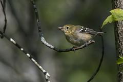 (The Transit Photographer) Tags: rideautrail trailhead marshlandsconservationarea birds fallmigration warblers baybreastedwarbler