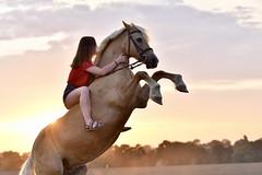 sunsetlover #2 (juliette.depreaux) Tags: sunset sunsetlover horse horseaddict horseriding horselovers showjumping horseportraits horsetrick welshpony pony free liberté shooting cream nikon nikonphotography nikkor animal animallover equestrian equitation equestre