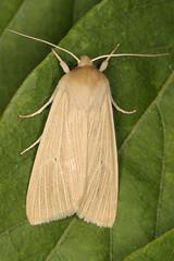 Common Wainscot (Jonathan Proud) Tags: moth bolton 2019