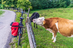 2019 Bike 180: Day 131, September 12 (suzanne~) Tags: 2019bike180 bike cow fence bavaria germany gauting fencedfriday
