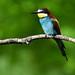 European Bee-eater 2019-07-06_10