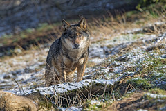 Distant wolf (Tambako the Jaguar) Tags: wolf brown canine canid dog looking portrait face standing posing grass snow sunny siky park zoo crémines switzerland nikon d5